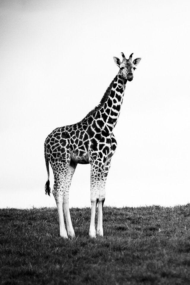 Cute Couple Wallpaper Iphone Ideas Black And White Giraffe Giraffe Animals Funny Giraffe