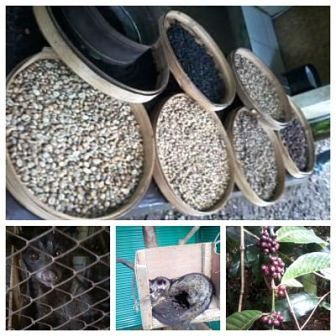 please visit my farm n posible direct send by cargo to all world-wide ..... Feel different of coffee luwak n make fresh mind ( also good for male virility n diabetic problem )   ..... don't forget to see my farm okayyy ?? contact ; +6281337781890 or dwikadek@gmail.com   see ya ....... price powder ;90$ /kgs coffee luwak  ,7$/kgs coffee arabika ,6$/kgs coffee robusta  price particle  ;35$ /kgs coffee luwak  ,5$/kgs coffee arabika ,4$/kgs coffee robusta