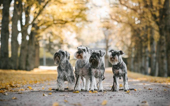 Download wallpapers Mittelschnauzer, dogs, pets, gray dogs, quartet, cute animals