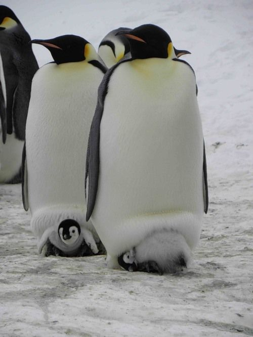 How Baby Penguins Stay Warm <3