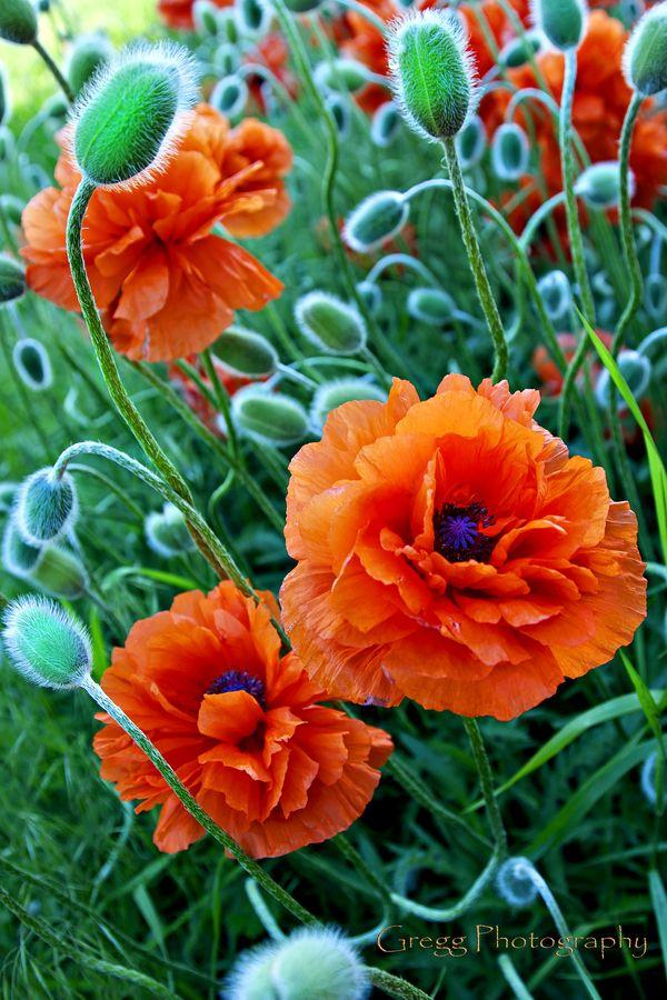 Beautiful Orange Frilled Poppies