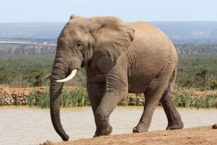 ELEFANTE | Basta de muertes por La Casería De Elefantes y Rinoceronte - Taringa!