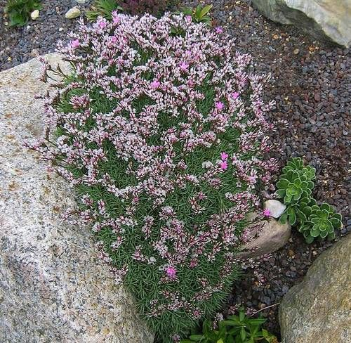 Acantholimon Plant | How to grow Prickly thrift | Growing and Caring for Prickly thrift