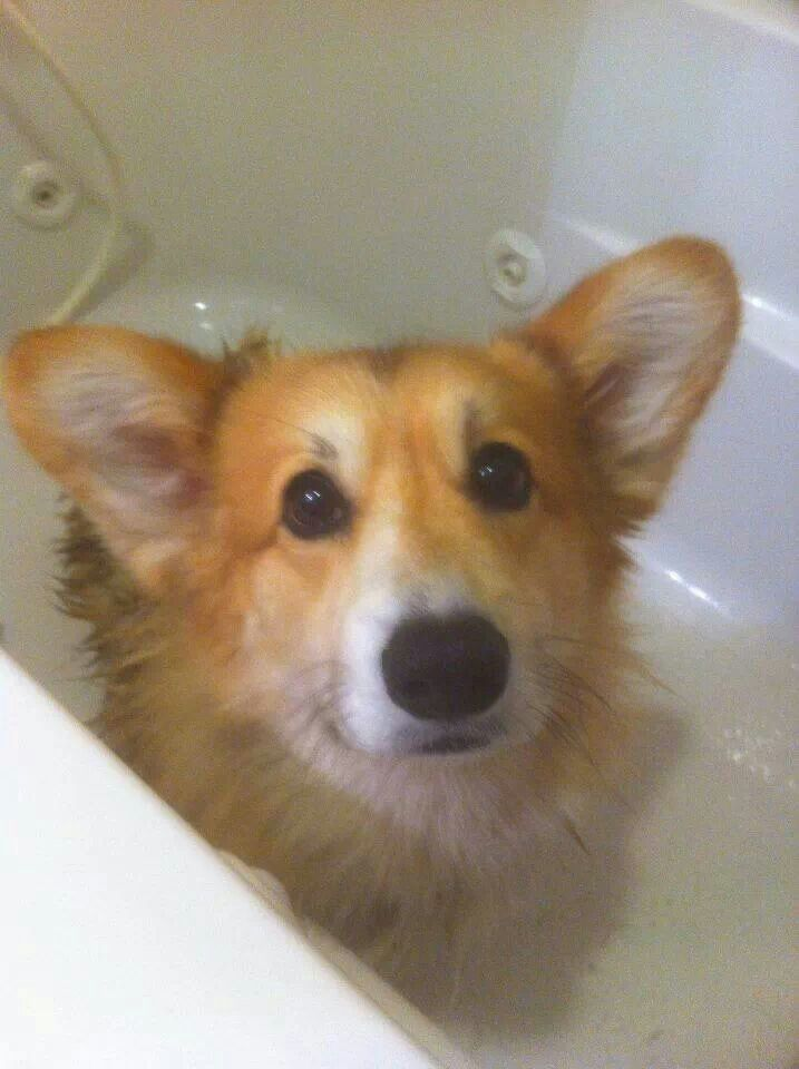 129 Best Corgis In The Bath Images On Pinterest Corgi