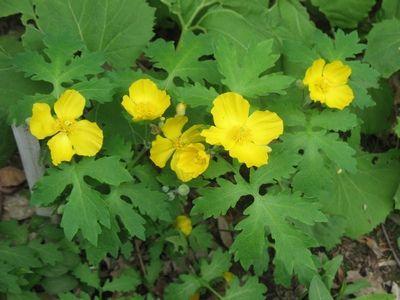 Stylophorum diphyllum / Celandine-poppy, Wood poppy, Poppywort / Arbara papavo (laŭ mi)