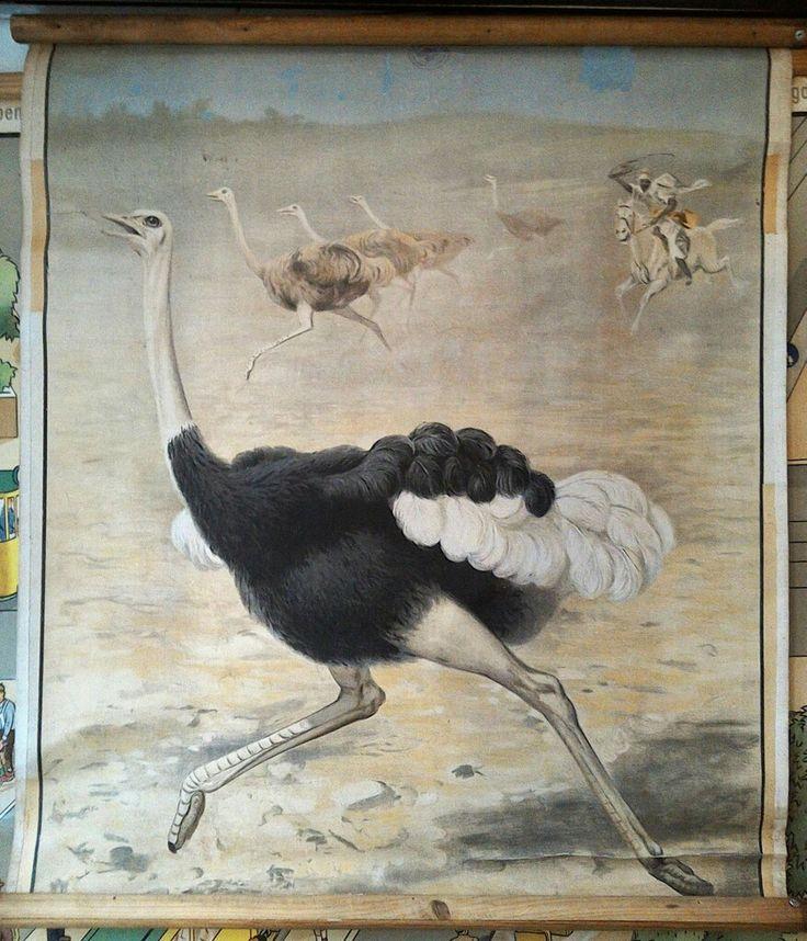 The ostrich - wall chart     Der Vogel Strauß - Wandkarte    Stauraum