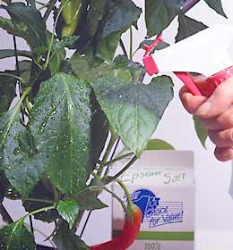 Fertilize Tomato & Pepper Plants With Epsom Salts - Mix 1 tablespoon w/ 1 gallon of water. Spray it at bloom time & again 10 days later for larger fruits - Charlie Nardozzi via garden.org
