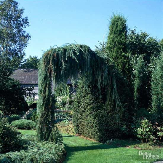 Weeping conifers look great when they carpet the ground, but they're downright stunning when supported and allowed to drape. This weeping larch is a perfect plant to clothe a sturdy arbor and create a landscape masterpiece./