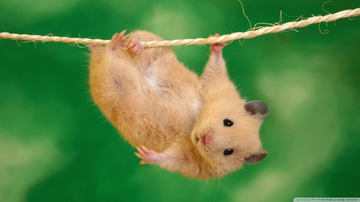 Hamster HD Wallpapers Backgrounds Wallpaper