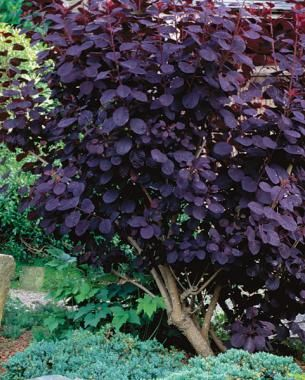 The Only Shrubs You Need to Grow | Fine Gardening. Love the smoke bush for where the cherry tree is now. Blue Star spreading spruce might be perfect under the burning bush.