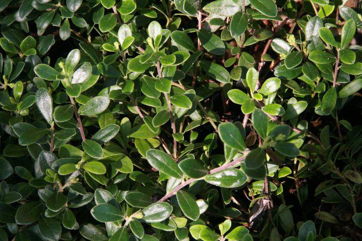17 best images about native plants landscape on pinterest