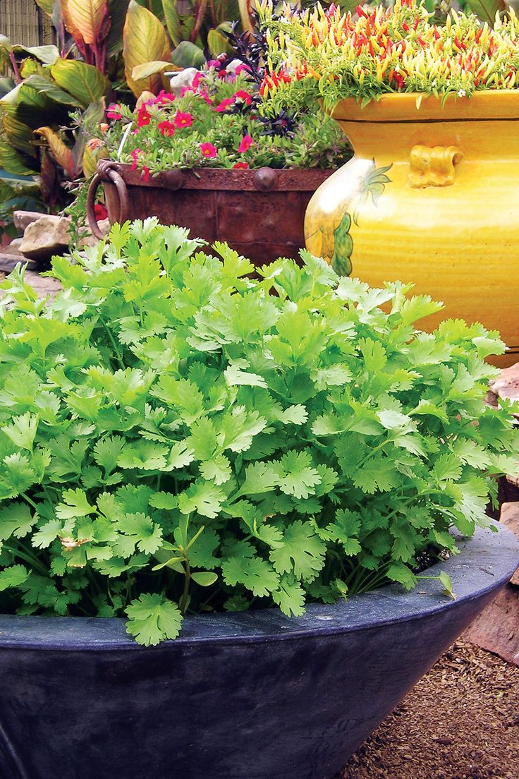 Get our tips on growing cilantro for a fast, continuous crop.