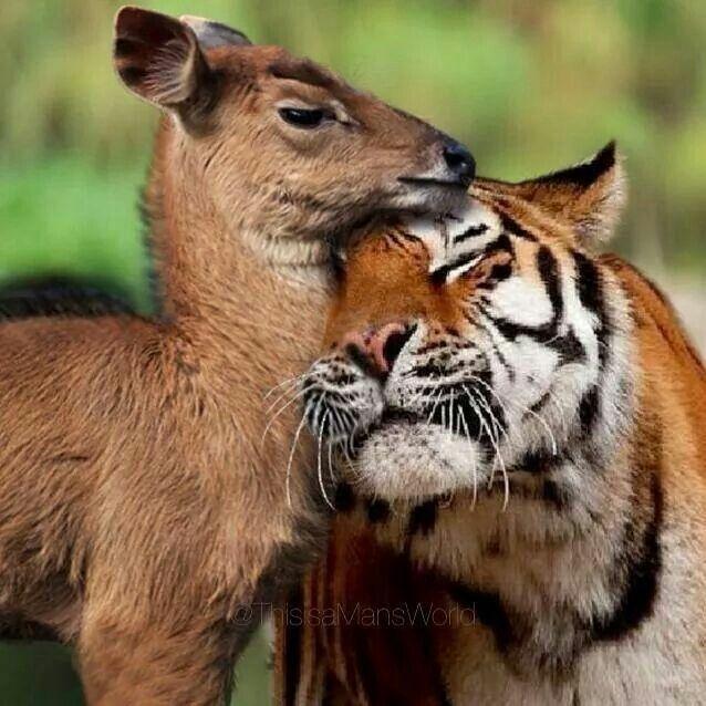 Un tigre qui fait un câlin à une de ses proies ! Incroyable ! Il a dû bien manger avant !
