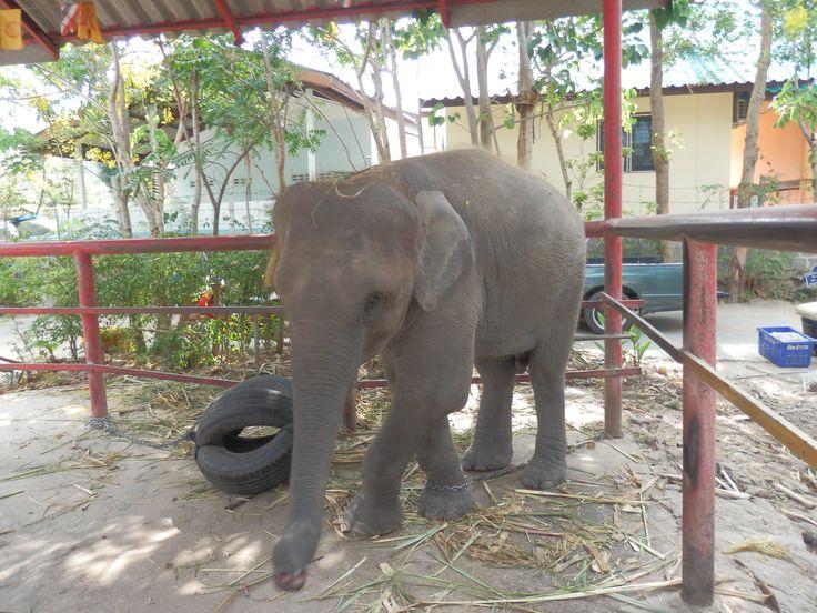 Baby elephant at the Hutsadin Elephant Sanctuary in Hua Hin, Thailand
