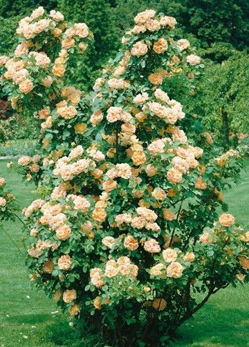 17 best rosa rugosa images on pinterest | garden ideas, flowers