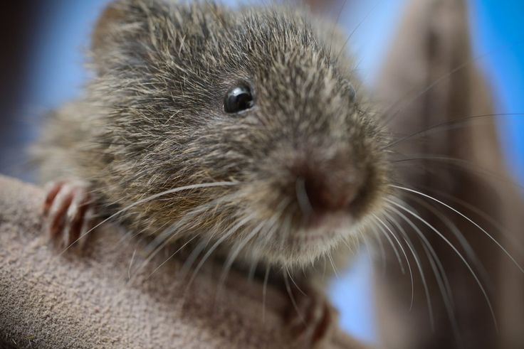 A tiny but important link in the food chain: A yearlong scientific study of the Amargosa vole concludes. https://www.wildlife.ca.gov/Science-Institute/News/PostId/44/amargosa-vole-studypic.twitter.com/m2Yq0Ayjqr