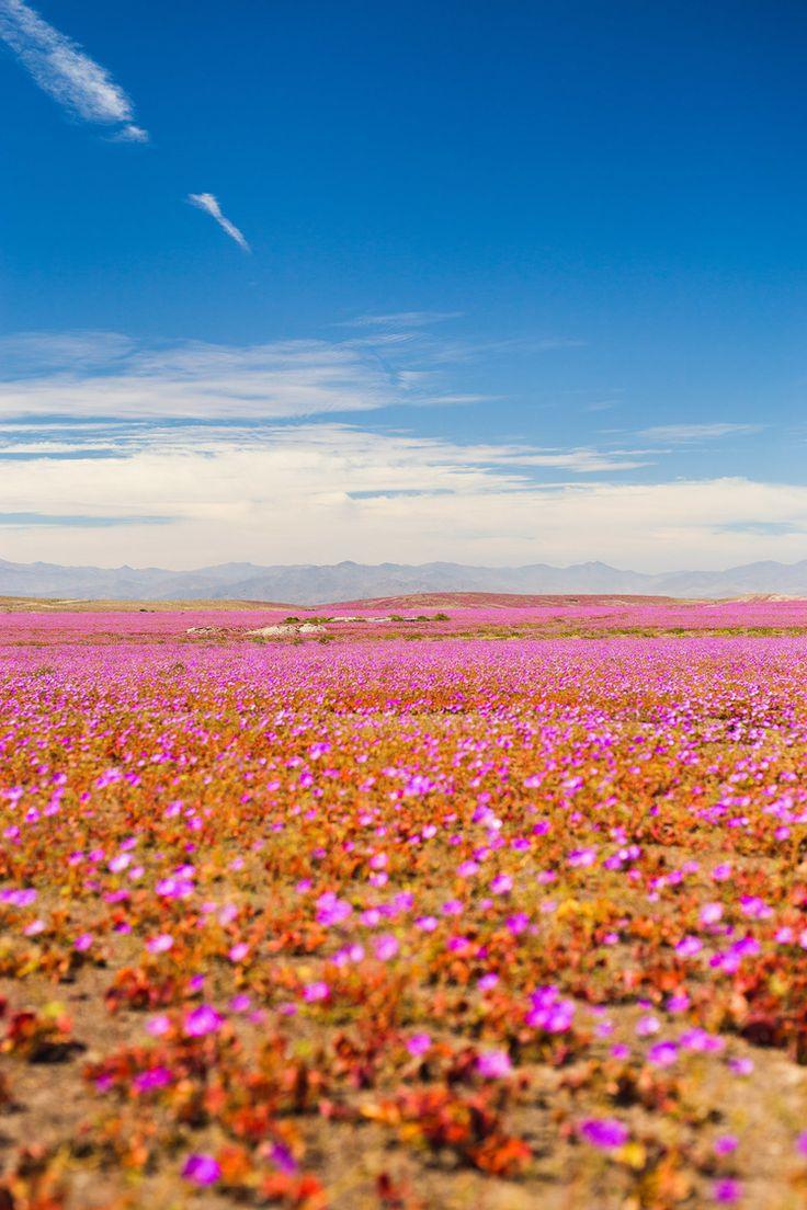 Blooming Atacama desert — 20weddings