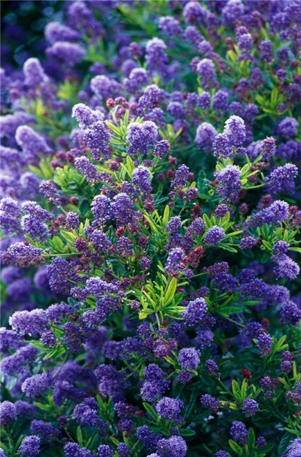 Ceanothus 'Concha' (Californian Lilac) is an evergreen, arching and spreading shrub which flowers profusely in late Spring/May in the UK.  Its reddish-purple buds are most attractive and open to bright blue flowers.  It likes a position in full sun and can make a height and spread of 3m.