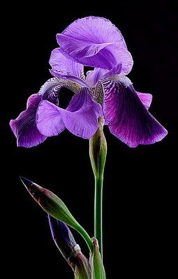 Purple Iris ~ my favorite flower; my grandma grew them in huge beds