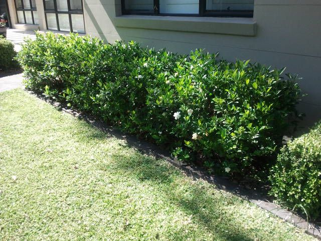 Gardenia - Sweet Scented Low Hedge | The Garden Hedge