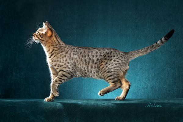 Cfa Registered Egyptian Mau Cats And Kittens Egyptian Mau Cat Breeds Egypt Cat