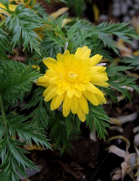 Zone 3a-7b. Adonis amurensis 'Hanazono' is a very rare sport of Adonis amurensis 'Sandanzaki'. The bright yellow, green-centered, fully double flowers of Adonis 'Hanazono' first appear for us in mid-January sans foliage. As they continue to emerge, the lacy cutleaf green foliage emerges as a nice foil. Adonis amurensis goes dormant by late spring, so mark it with a label.