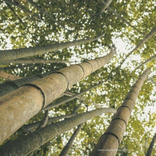 17 mejores ideas sobre cultivo del bamb en pinterest jard n de bamb - Cultivo del bambu ...