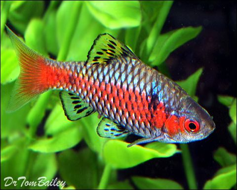 152 best rainbow fish aquarium images on pinterest fish for Freshwater tropical fish online