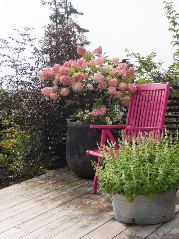 Vanille-Fraise-hortensia-3