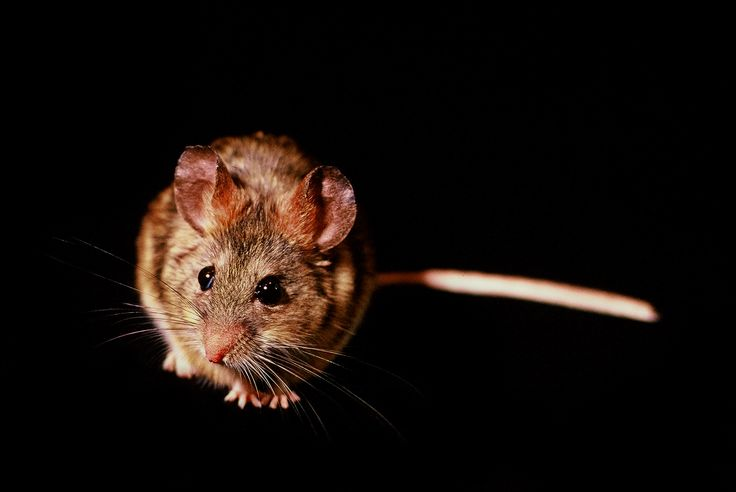 Ratón orejudo de Darwin (Phyllotis darwini). Fotografía: Daniel Gomez-Lobo Fehling