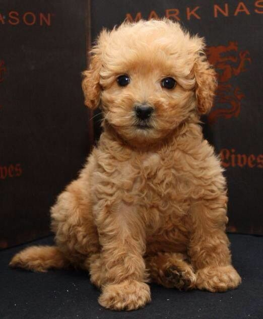 Maltipoo puppy❤️❤️❤️so sweet