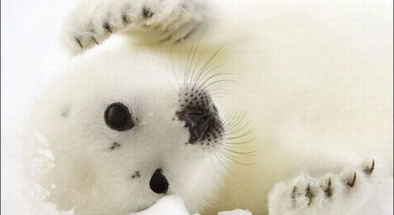 Canada: Por favor  ¿pueden parar las matanzas de focas?  Canada: Please can you stop the killing of seals?Harp Seals, Beautiful, White, Creatures, Baby Animal, Seals Pup, Baby Harp, Adorable Animal, Baby Seals