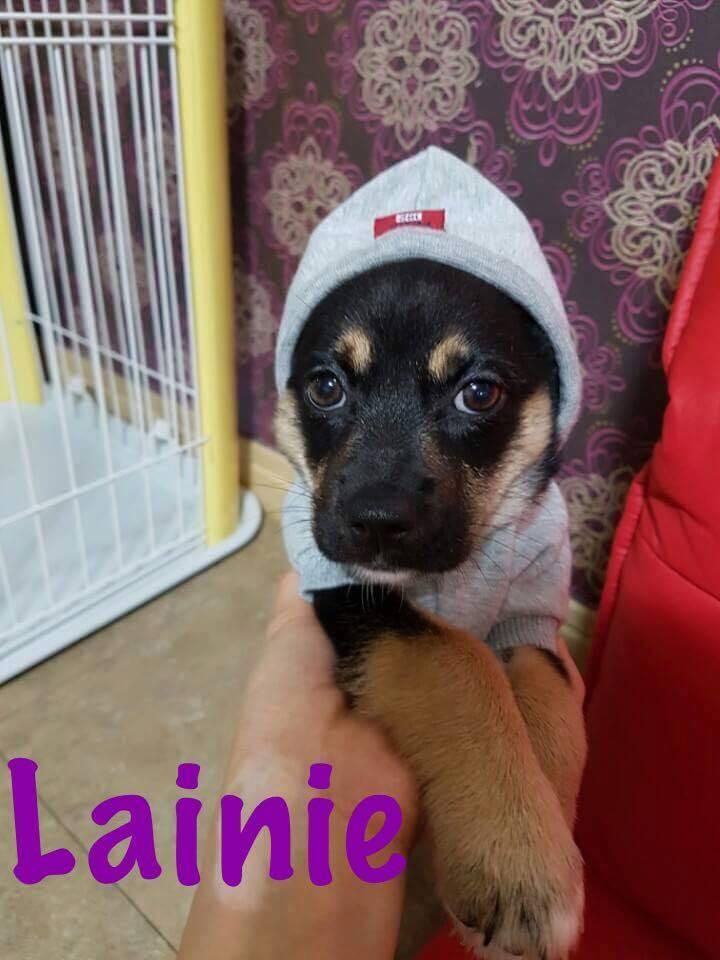 Adopt Lainie On Homeless Pets Pet Adoption Chihuahua