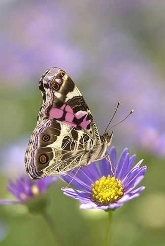 ~~American Painted Lady Butterfly on a Lavendar Flower by Gail Shumway~~