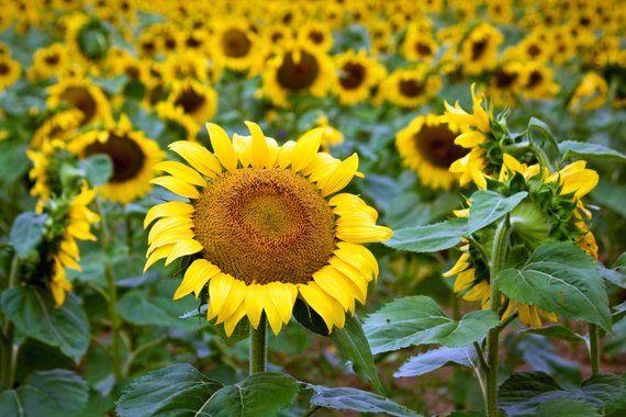 12 Photos That Prove Maryland S Massive Sunflower Field Is Instagram Gold Washingtonian Sunflower Fields Blooming Sunflower Summer Scenes