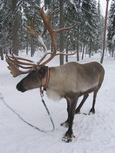 Reindeer farm - Rovaniemi, Finland