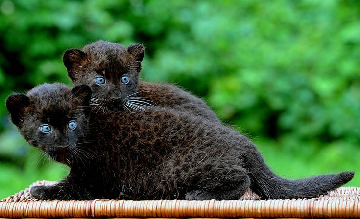 Black Panther Cubs | black panther cubs baturgai left and ormila look around as they are ...