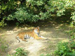 Bengaalse tijger (Trudi)