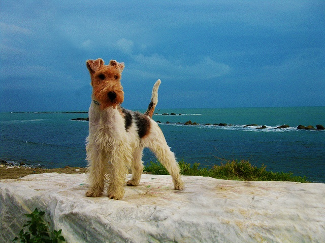 55 best Fox terrier images on Pinterest | Wire fox terriers, Wire ...
