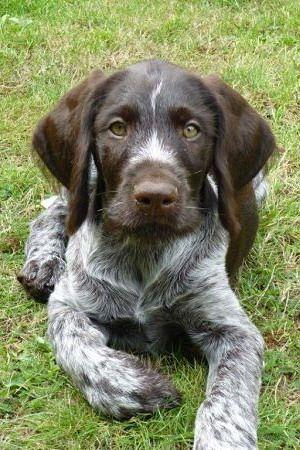 El Braco Alemán de Pelo Duro (Deutsch Drahthaar) es utilizado casi exclusivamente para la caza. Destaca como perro de muestra y como cobrador de aves acuáticas. Sus mejores cualidades son la tenacidad, la resistencia y la fogosidad.