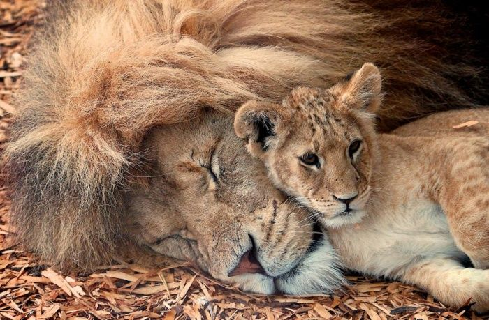 Happy Fathers DayMale lions are sleepy animals, but they still find time to look after the cubs when lionesses go huntingPhotograph: Paul Mansfield/Getty Images/Flickr RF