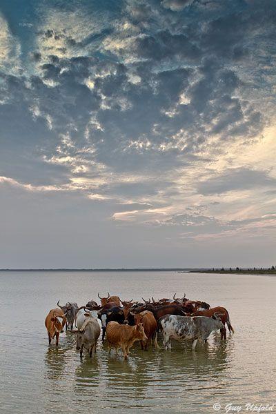 """Circles"" | Nguni Cattle on the edge of Lake Sibaya in northern Zululand | © Guy Upfold"