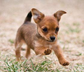 Yorkie+Chihuahua+Mix | Yorkie-Chihuahua-mix2.png