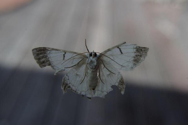 #macro #moth #battlescars #albino