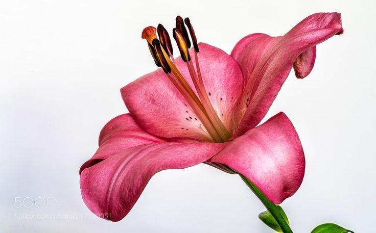 Lily... - Zambak zambakgiller (Liliaceae) familyasının Lilium cinsinden genellikle soğan ile üreyen mevsimlik çiçekli bitkilerin adıdır. Zambakgiller familyasında bu cinse ait 110 civarında bitki türü vardır. Genellikle bahçe ve süs bitkisi olarak kullanılır bazı soğanlı türleri de insanlar tarafından yenilebilir. Bu cinse ait zambak türü asıl zambaktır isminde zambak geçen başka bitkilerde olmasına rağmen onlar diğer gruplara aittir. Zambak bitkisinin çiçekleri kimi ülke mutfaklarında besin…