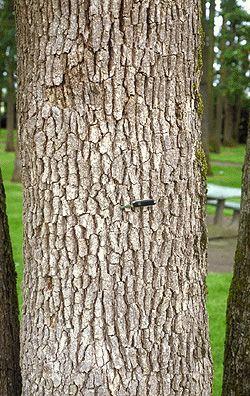 Garry Oak [quercus garryana] bark