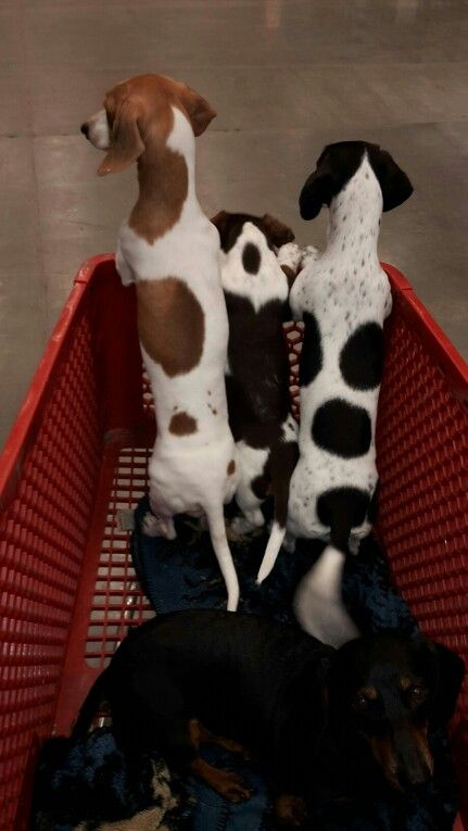 Shopping dachshunds piebald