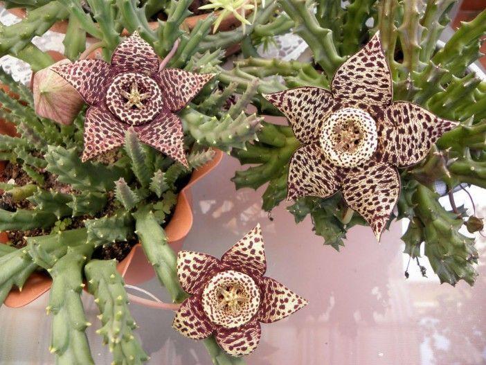 Su aspecto exótico y flores maravillosas hacen que nos olvidemos del olor que a veces emite. Aún así, flor de lagarto debe estar en la colección de cualquier amante de las suculentas. ¿Tú lo eres?