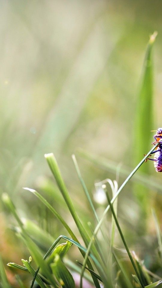 makro gambar - gambar rumput, wallpaper ladybug, serangga vektor, latar belakang silau latar belakang 540x960 makro HD wallpaper gambar untuk desktop