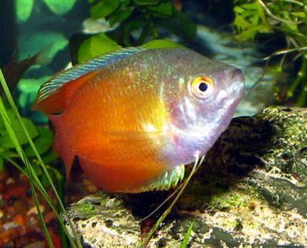 Cinnamon Dwarf Gourami | AquariumFishSale.com - Live Tropical Fish for Sale!